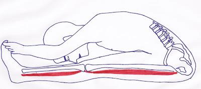 cl-pascimottanasana-correcte-muscles-etires